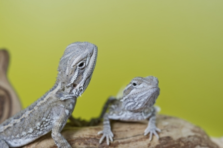 bearded dragon lizard: Close up portrait of babies reptile lizards bearded dragons sitting on a branch Stock Photo