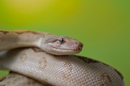 snake head: Boa constrictor reptile snake close up macro portraiton green blurred background