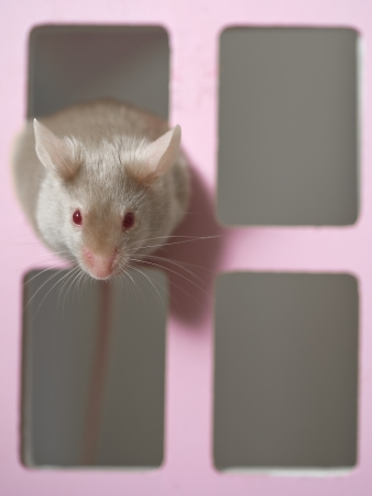 mouse hole: Cute mouse rat rodent looking out of a toy house window Stock Photo
