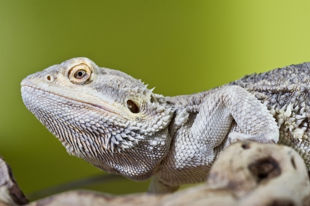 Beautiful Bearded dragon reptile lizard on a branch on green blurred background photo