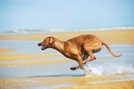 ridgeback: Happy dog rhodesian ridgeback running with splashes at the beach see