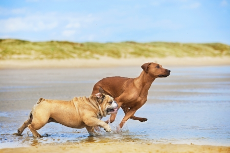 Two dogs english bulldog and rhodesian ridgeback dog running at the beach sea
