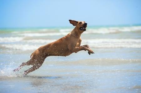 perro corriendo: Feliz perro rhodesian ridgeback corriendo con salpicaduras en la playa ver Foto de archivo
