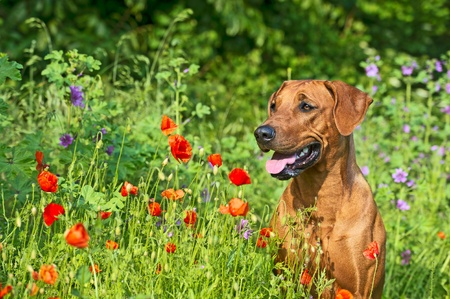 Cute beautiful rhodesian ridgeback dog puppy in a field of flowers Stock Photo