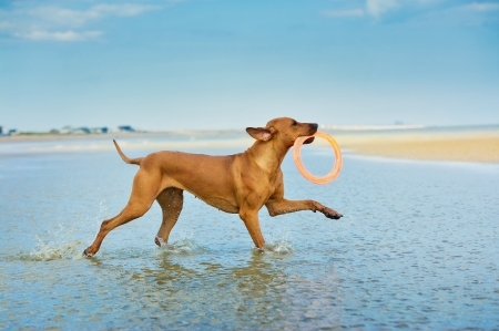 Active athletic dog puppy rhodesian ridgeback running at the sea with flying pan