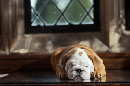 Cute english bulldog puppy in in a luxury room indoors laying by a window photo