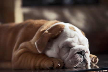 Cute english bulldog puppy in in a luxury room indoors laying by a window