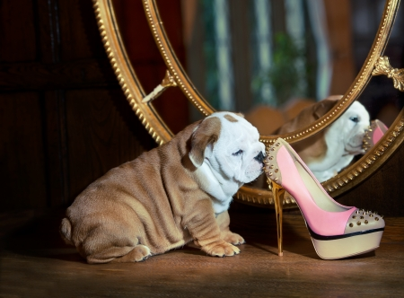 Cute english bulldog puppy in beautiful interior room sitting by the mirror with a sexy pink shoe