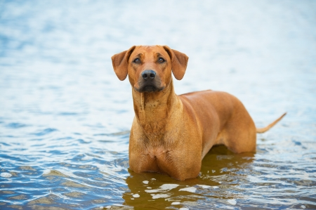 Beautiful dog in the sea at the beach Stock Photo - 20603574