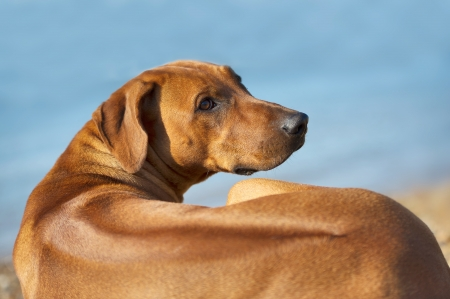 rhodesian: Beautiful dog resting on the beach shore