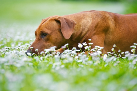 Rhodesian ridgeback dog puppy in a field of chamomile flowers