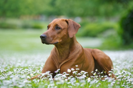 Rhodesian ridgeback dog puppy in a field of chamomile flowers Stock Photo - 20862957