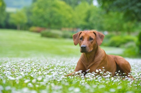 Rhodesian ridgeback dog puppy in a field of chamomile flowers Stock Photo - 20675350