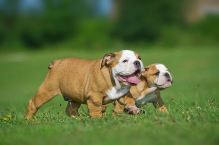 Cute happy english bulldog dog puppies playing outdoors on a fresh grass and flowers Stock Photo