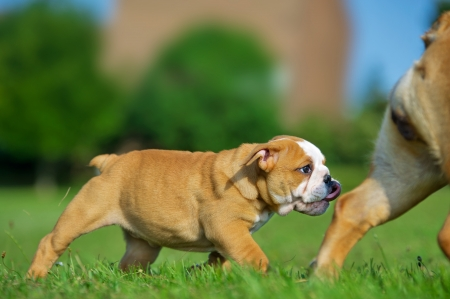 Cute happy english bulldog puppy following its mother photo