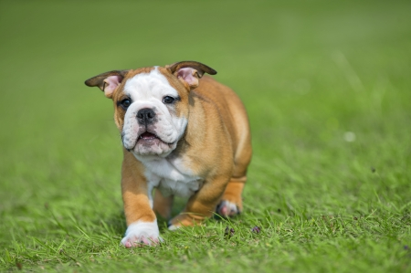 Happy english bulldog puppy playing on fresh summer grass running towards camera