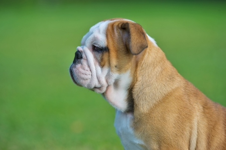Cute happy bulldog puppy close up portrait outdoors horizontal view
