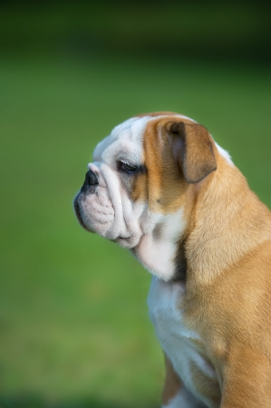 Cute happy bulldog puppy close up portrait outdoors vertical view Stock Photo - 20862975