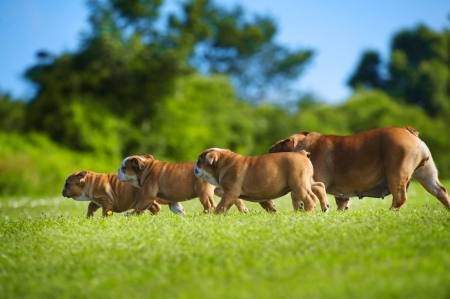 Beautiful Bulldog mother dog following her children puppies Stock Photo