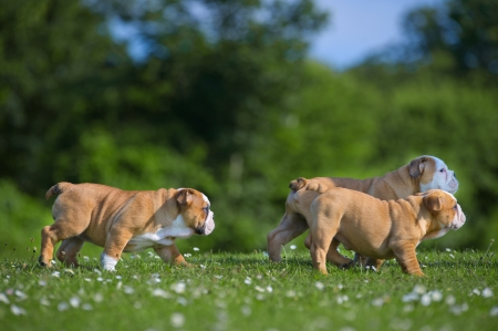 Cute happy english bulldog dog puppies playing outdoors on a fresh grass and flowers Stock Photo - 20862982