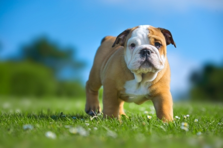 Cute happy english bulldog puppy playing on fresh summer grass photo