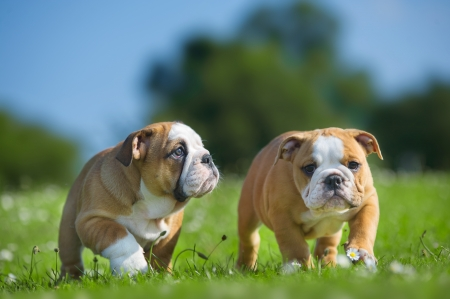 Cute happy english bulldog dog puppies playing outdoors on a fresh grass and flowers photo