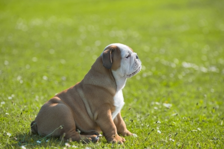 Cute happy english bulldog puppy sitting on fresh summer grass side view Stock Photo