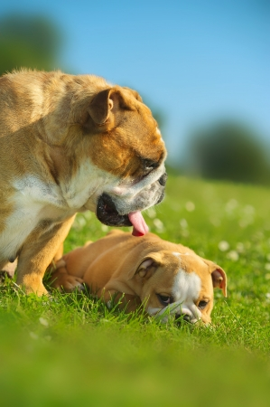 Happy cute english bulldog puppy with its mother dog outdoors Stock Photo