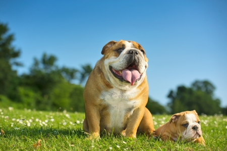 Happy cute english bulldog puppy with its mother dog outdoors photo