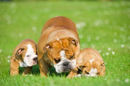 Beautiful Bulldog mother playing with her children puppies