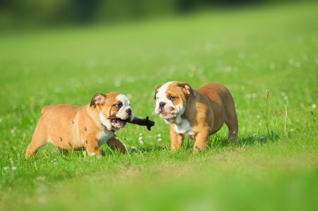 Cute happy english bulldog dog puppies playing outdoors on a fresh grass Stock Photo