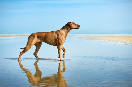rhodesian: Active athletic dog puppy running at the sea Stock Photo