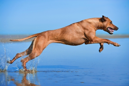 dog running: Active athletic dog puppy running at the sea Stock Photo