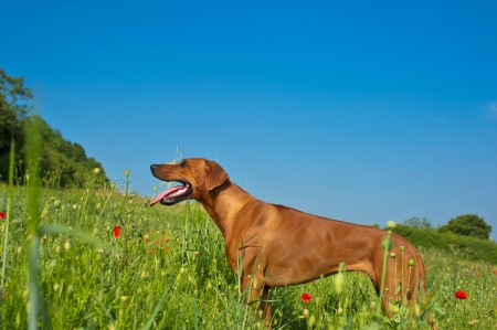 Beautiful dog rhodesian ridgeback puppy in a field of flowers