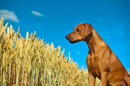 Dog in the rye wheaten field Stock Photo
