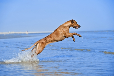 Active athletic dog puppy running at the sea Stock Photo