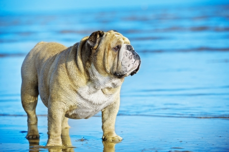 Funny cute dog english bulldog standing in the water on his mirror reflection Stock Photo