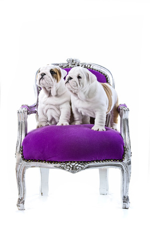 Cute English bulldog puppies in a luxury posh chair