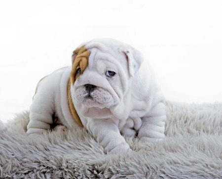 Cute english bulldog dog puppy isolated on white background