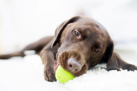 Portrait of a chocolate brown labrador playing with a ball