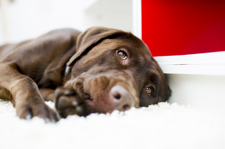 Cute checolate brown labrador portrait Stock Photo - 49121409