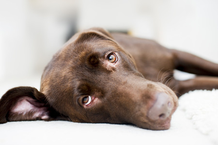Cute checolate brown labrador portrait Stock Photo