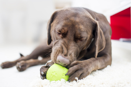 brown labrador: Portrait of a chocolate brown labrador playing with a ball