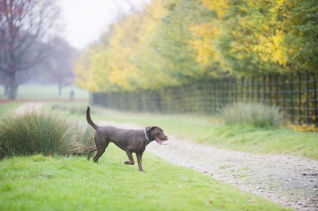 brown labrador: Chocolate brown labrador hunting in autumn
