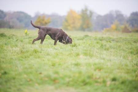 Chocolate brown labrador hunting in autumn