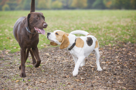 Beagle and labrador dog friends playing in the park
