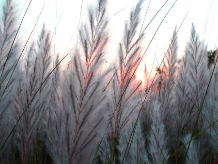 A sunset view of the white grass flower   Zdjęcie Seryjne