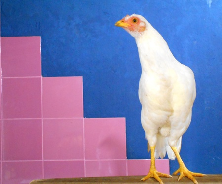 A hen counting steps