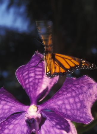 Butterfly on Orchid photo