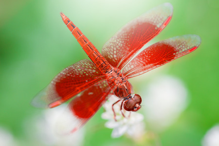 Red dragonfly on a white flower.